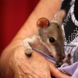 Accueil de kangourous blessés