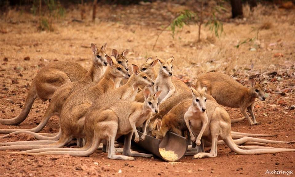 La faune australienne, les kangourous.
