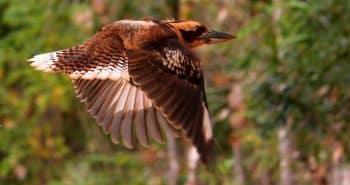 Les oiseaux australiens