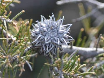 Allocasuarina seedpod