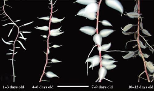 Dauciform root