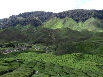 Tea plantation in Malayasia